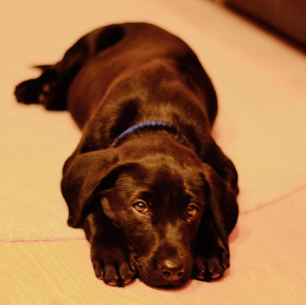 Labrador Welpe - Herzproblem Hund