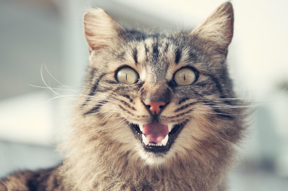 Katze mit Maulatmung - ein möglicher Hinweis auf Wasser in der Lunge
