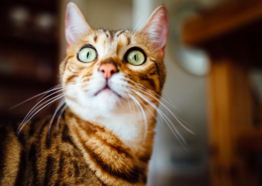 Bluthochdruck bei Katzen - getigerte Katze mit großen Augen