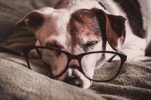 Herzklappenerkankgunen bei alten Hunden