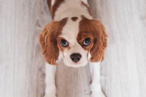 Herzeräusch beim Hund