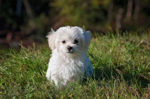 Hundewelpe im Gras - Leichte Beute für Zecken
