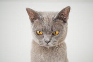 Niereninsuffizienz graue böse schauende Katze