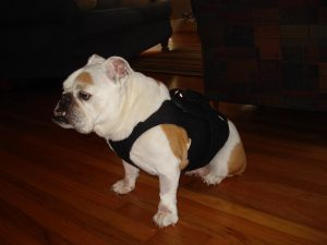 DCM- Hund mit Holter Monitor