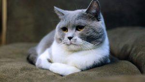 Herzprobleme bei der Katze - grau-weiße Katze