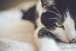 Herzprobbleme bei der Katze - grau-weiße Katze