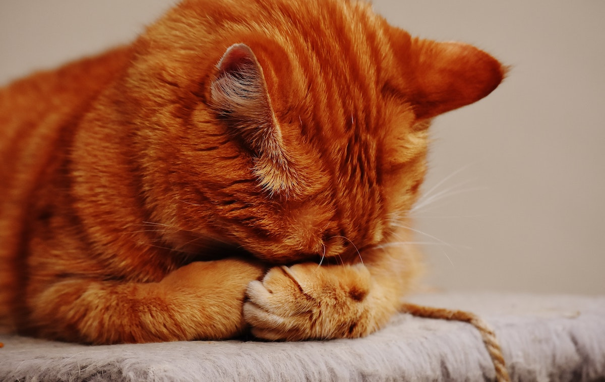 Nierenwerte erhöht - rote Katze versteckt Gesicht