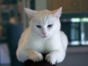 Nierendiät bei der Katze - weiße Katze