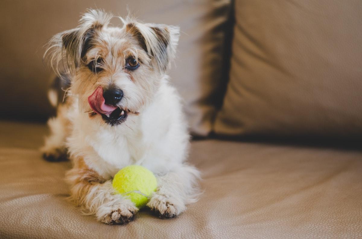 Herzhusten beim Hund - Hund auf Sofa mit Tennisball
