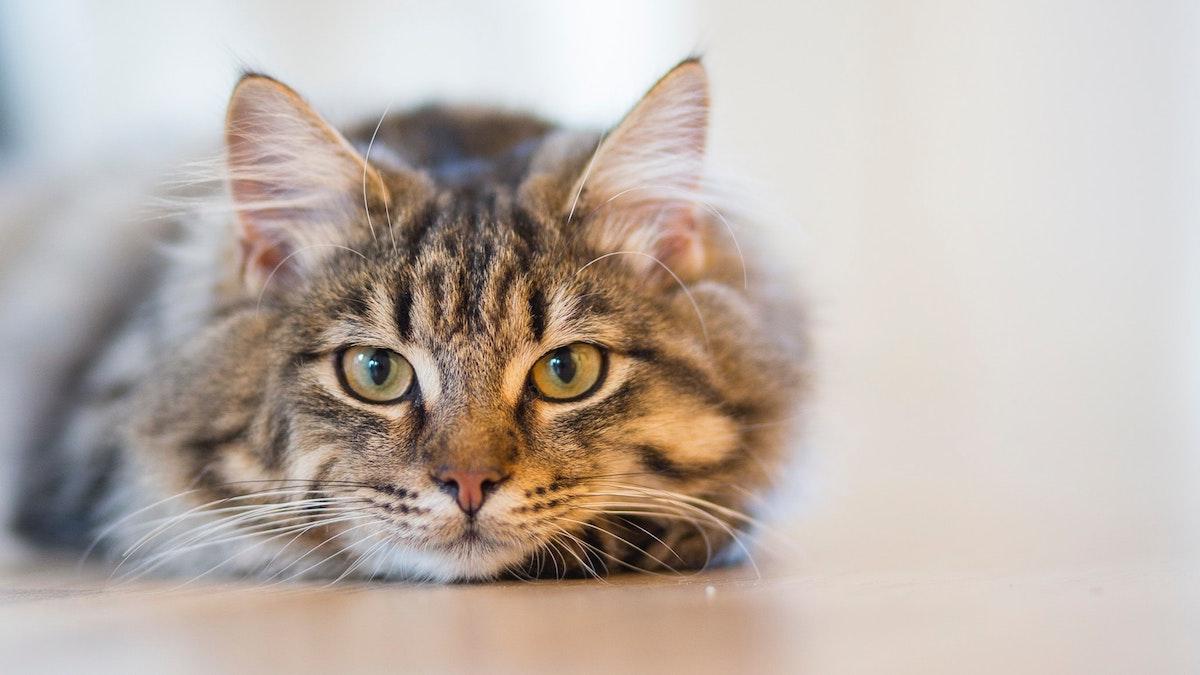 Herzmedikamente bei der Katze - getigerte Katze schaut in die Kamera