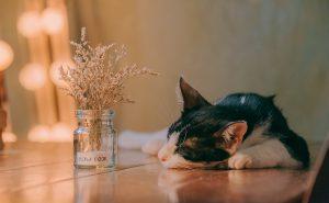 Herzmedikamente bei der Katze- schwarz-weiße Katze schläft auf Tisch