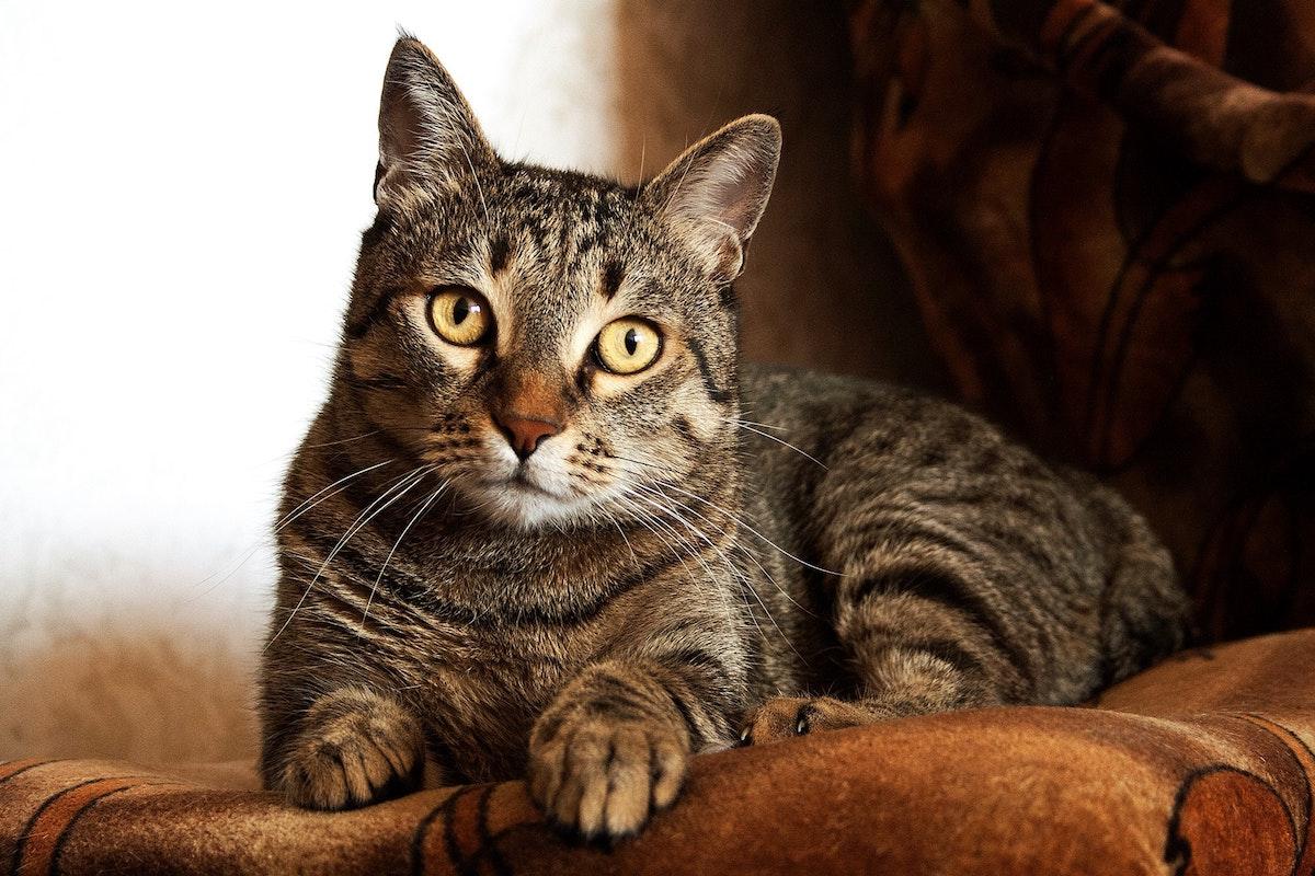 Nierendiät bei der Katze - getigerte Katze fragender Blick