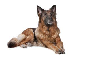 Perikarderguss - Deutscher Schäferhund