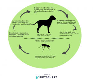 Herzwürmer - Lebenszyklus