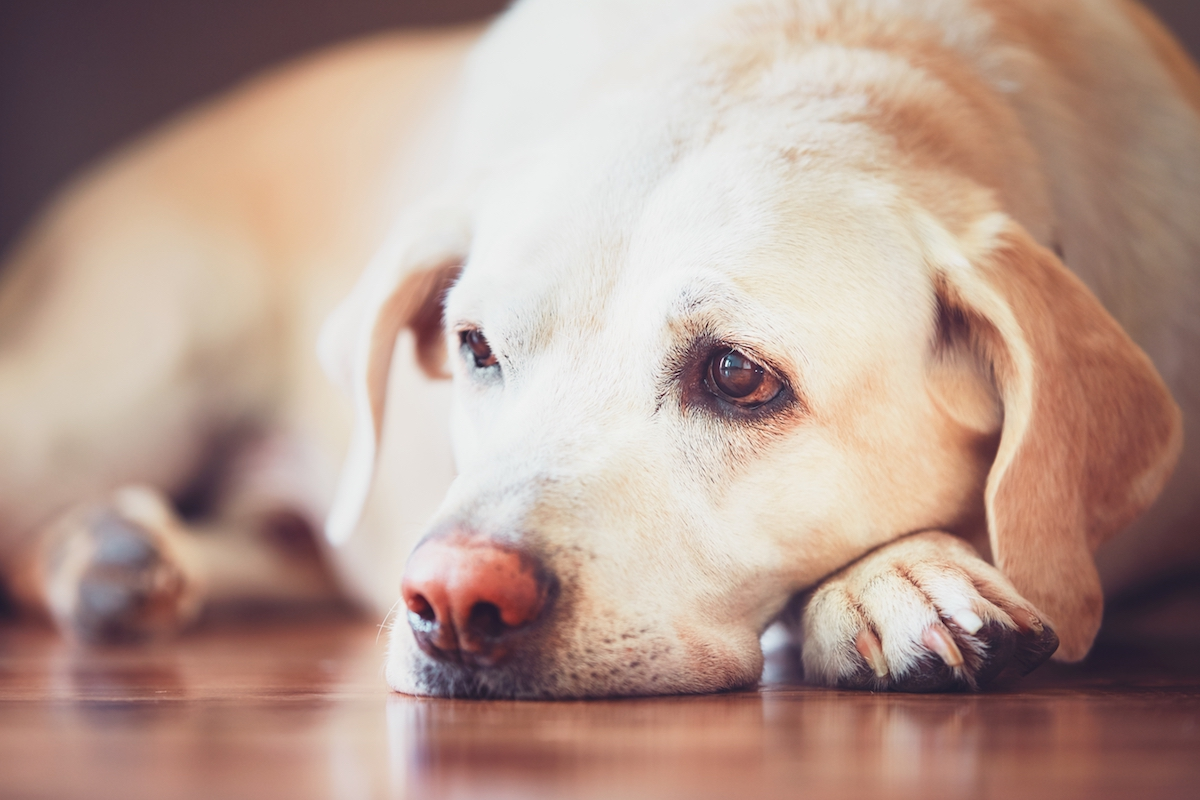 Perikarderguss - Labrador auf Holzboden
