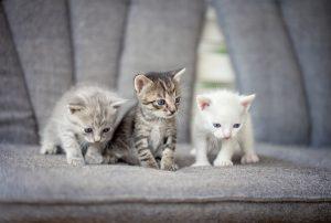 Herzerkrankungen bei jungen Katzen- drei Welpen auf Sofa