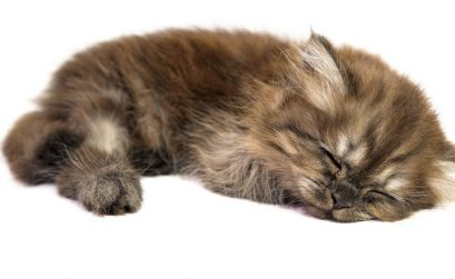 Herzerkrankungen bei jungen Katzen - brauner Welpe schläft