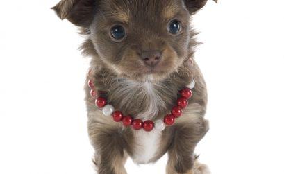 PDA - Chihuahua Welpe