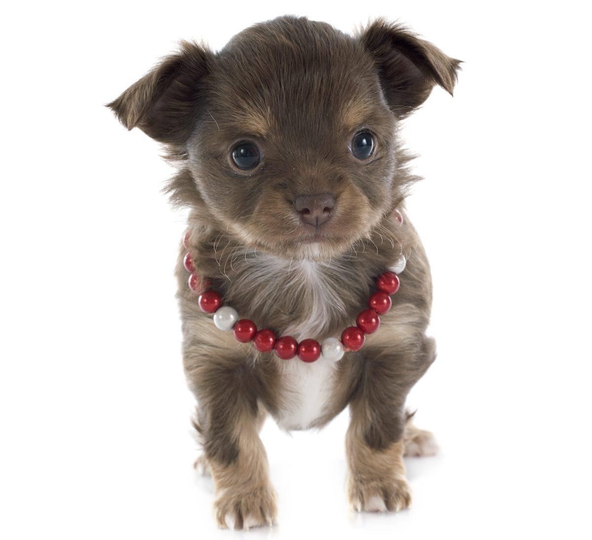 PDA – eine der häufigsten angeborenen Herzerkrankungen bei Hund und Katze