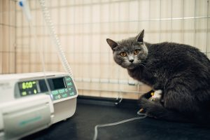 Nierenversagen und Herzversagen - Katze an der Infusion