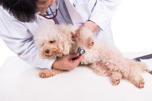 Nierenversagen und Herzversagen - weißer Pudel wird abgehört