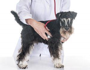 Herzschrittmacher beim Tier - Minischnauzer wird abgehört