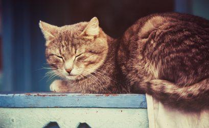 Schmerzmittel bei Katzen mit Niereninsuffizienz