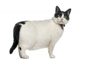 Übergewicht bei der Katze