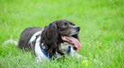 Leistungsschwäche beim Hund – liegt es am Herz?