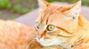 RCM – Restriktive Kardiomyopathie bei der Katze