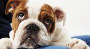 Fallotsche Tetralogie bei Hund und Katze