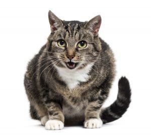 UCM bei der Katze