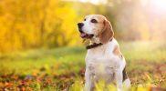 Vergrößertes Herz beim Hund – braucht er Medikamente?
