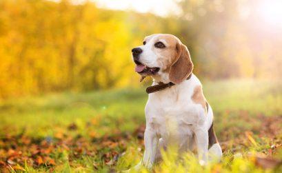 Vergrößertes Herz beim Hund