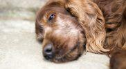 Wasser im Bauch – erklärt an einem Fallbericht beim Hund