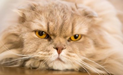 Atemfrequenz Katze