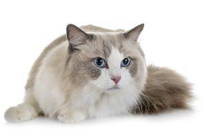Lebenserwartung bei Katzen mit HCM