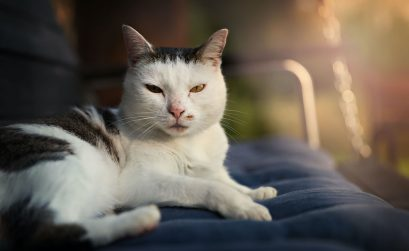 Thromboseprophylaxe bei Katzen